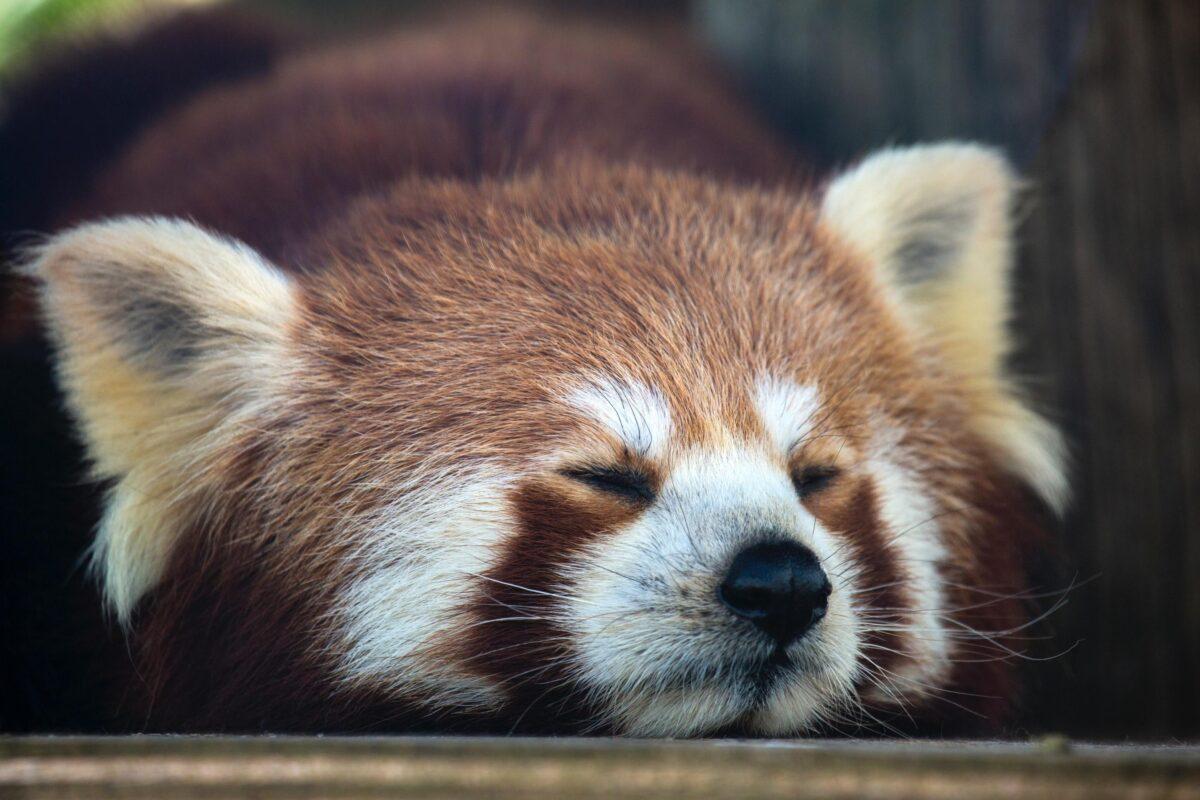 Panda Singapore wildlife parks